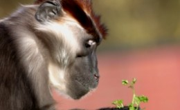 Baboon-alpha-leader